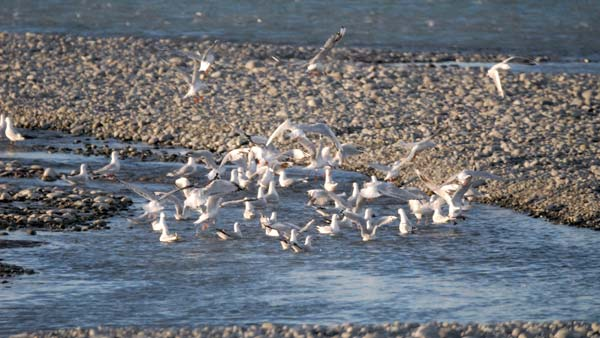 Gulls chasing and feeding on smelt in the lower Rakaia River.