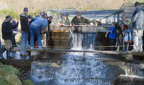 Fish & Game, assisted by many volunteers, release salmon fingerlings in mid-winter at the Montrose hatchery close to the head waters of the Rakaia River.
