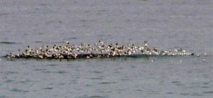 Birds working over schools of baitfish and whalefeed or krill.