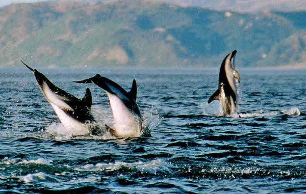 Dusky Dolphins off Kaikoura's South Bay