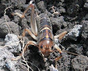 Live Ground Weta (Genus Hemiandrus focalis)