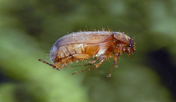 Live brown beetle.