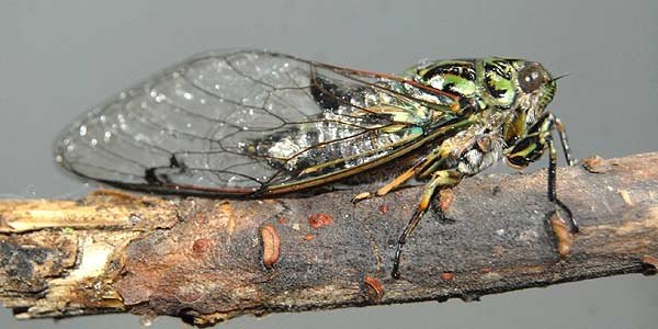 This cicada was caught in Hagley Park, central Christchurch, during mid February. According to Te Ara - The Encyclopedia of New Zealand - there are 42 cicada species and subspecies in five genera, that are all unique to New Zealand.