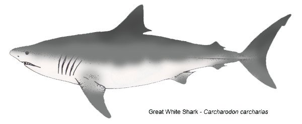 Great-White-Shark-Carcharodon-carcharias - line art