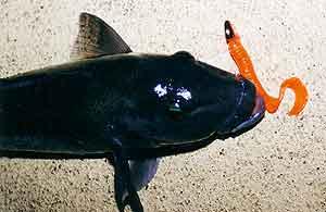 Blue cod taken on soft plastic worm, Breaksea Sound, Fiordland, New Zealand.