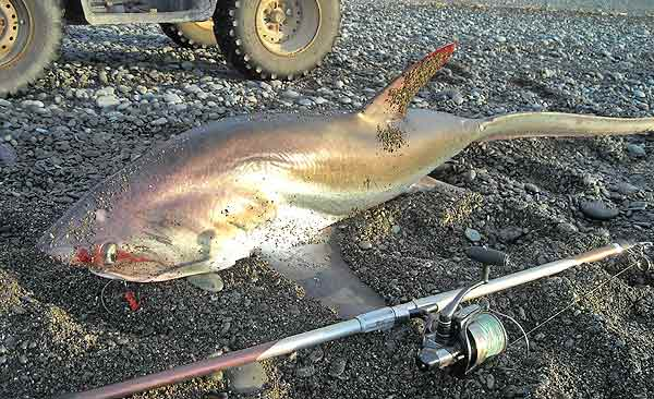 Thresher shark caught surfcasting at Birdlings Flat, Canterbury.