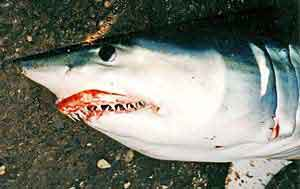 Even mako sharks have been taken on SWF.