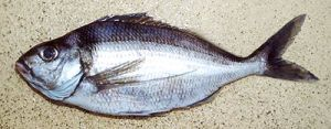 This tarakihi was caught fishing over foul ground in Fiordland..