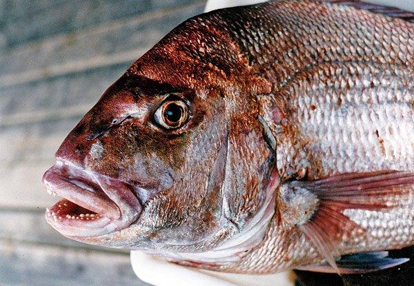 Big snapper caught in Kenepuru Sound, Marlborough.