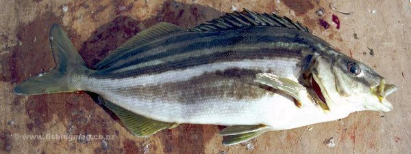 A trumpeter caught fresh from the sea has bright vivid colours. They are also strong fighters darting from side to side and pulling strongly on the line.