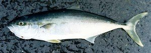 Small kingfish, often referred to by anglers as a rat kingi, weighing about 6kg caught off Banks Peninsula.