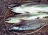 lake Coleridge salmon limit bag.
