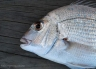 Snapper caught by Allan Burgess from the wharf at Mapua, near Nelson.