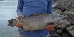 Paul Spicer caught this slightly unusual looking hen salmon. in the Ohau C canal.