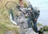Lifting a salmon onto the bank.