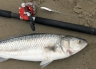 A lucky kahawai bi-catch while salmon fishing at the Waimakariri River mouth. Its all good fun! Waimakariri River Trout and Salmon Fishing - fishingmag.co.nz