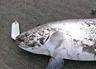 "Many anglers swear by a white zed spinner. The angler who landed this salmon has landed nine fish this season at the Waimakariri River mouth. All were taken on the same ""lucky"" white zeddie! Waimakariri 18 March 2008"