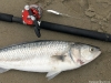 A lucky kahawai bi-catch while salmon fishing at the Waimakariri River mouth. Its all good fun! Waimakariri River Trout and Salmon Fishing - fishingmag.co.nz