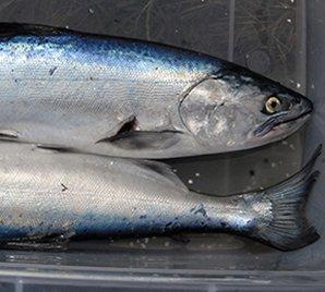 Landlocked Quinnat Salmon.