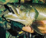 Macinaw trout featured image.
