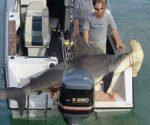 Hammerhead shark - Sphyrna zygaena.
