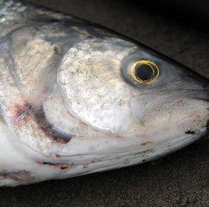 kahawai fishing tops featured image