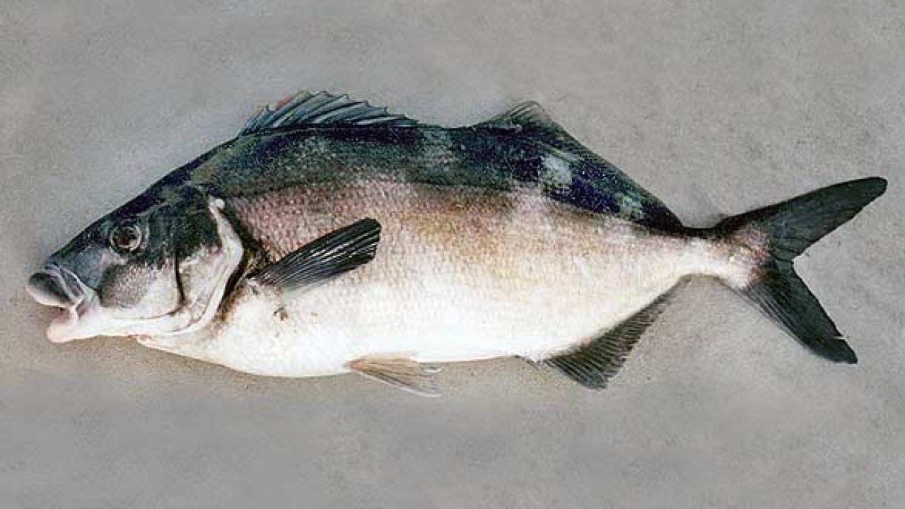 That Fish Necktie Fish Caught In The Regional Bay Of JAPAN Regional Necktie.