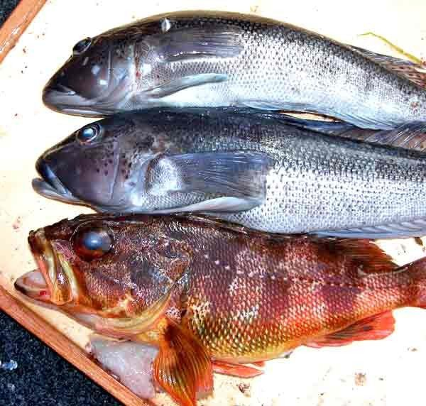 Motunau beach offers good diving and boat fishing for Sea perch fish