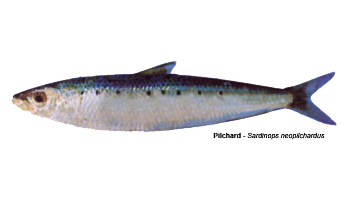 Pilchard – Sardinops neopilchardus