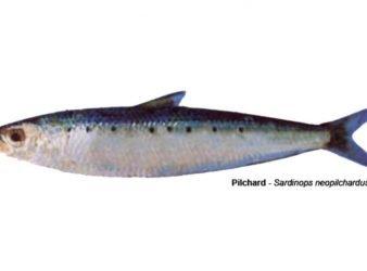 Pilchard – Sardinops neopilchardus.