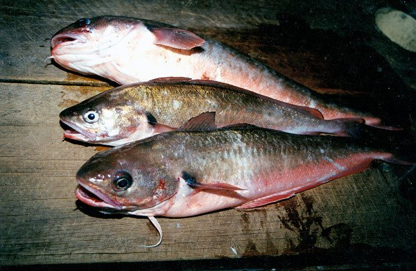 Red cod.