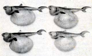 Four embryos taken from the body of a porbeagle shark caught in the Solander Trough on 24 April 1993.