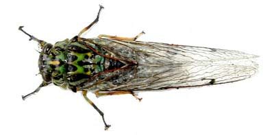 Viewed from above the cicada has quite a plump body.