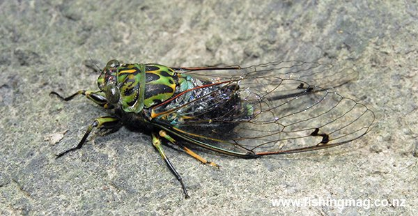 The Cicada is quite a large and bulky insect.