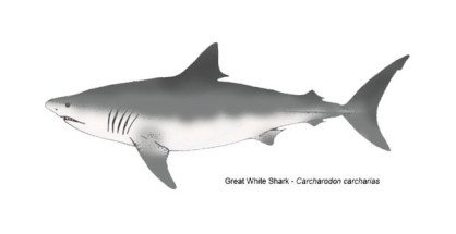 great-white-shark-featured-image-3