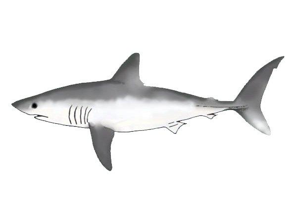 Porbeagle shark line art