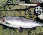 This pretty 4 lb rainbow trout was taken on a Caddis immitation.