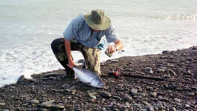 Every angler dispatches their salmon with a sharp blow to the head. This is a salmon taken at the Rakaia River mouth.
