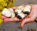 Tua tua make good size fish baits. Photo courtesy of DJ Moresby.