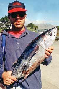 Albacore trolling lures. Albacore tuna taken off Canterbury.