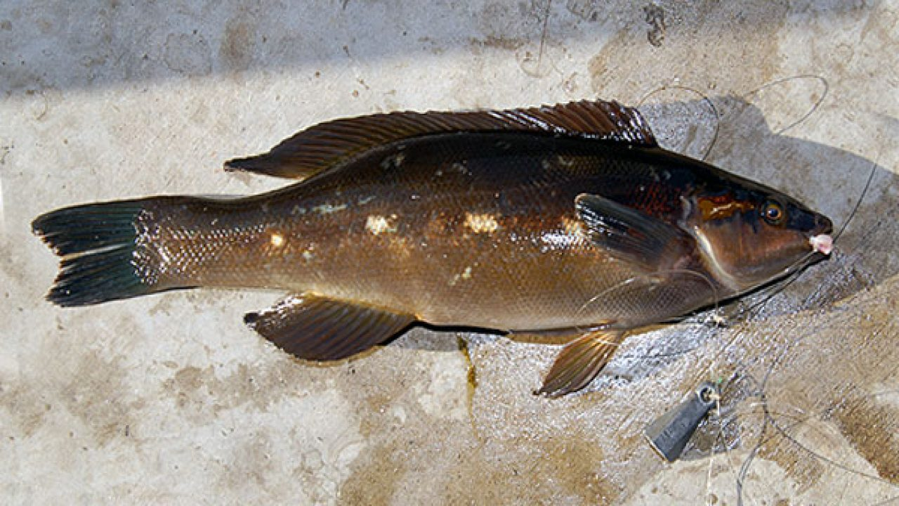Butterfish - Odax pullus widely known in New Zealand as