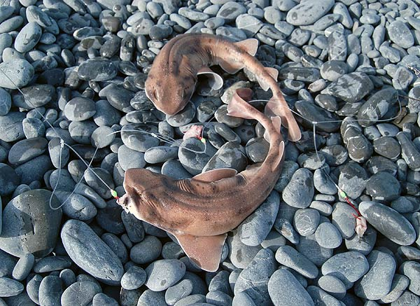 Carpet shark. A brace of carpet sharks caught by Allan Burgess from the beach beahind the railway station at Kaikoura.