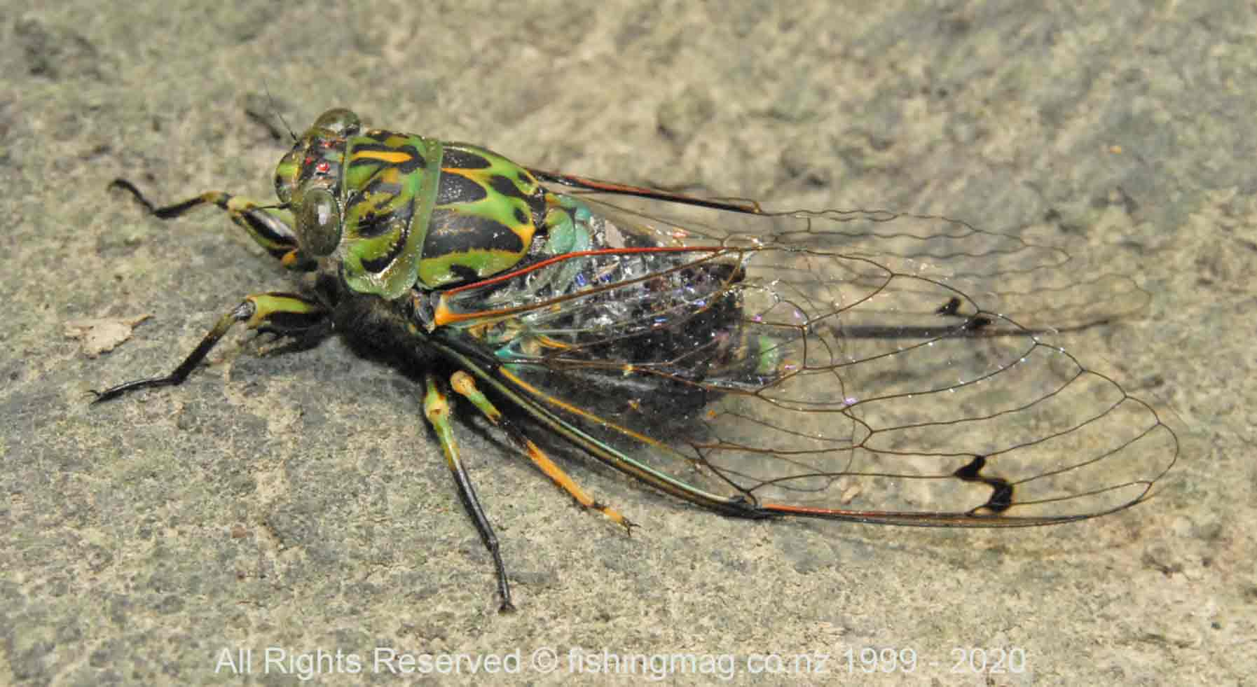 The cicada is a large bulky insect.