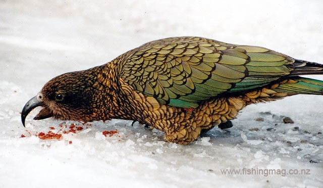 kea New Zealand protected bird original hamills killer photograph