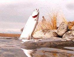 Twizel Canals Salmon