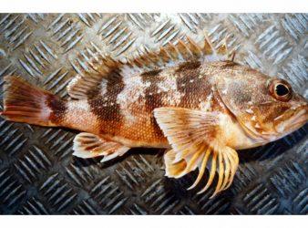 Sea Perch – Helicolenus percoides. When first caught the sea perch has bright vivid markings.