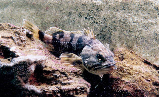 Sea perch a usually found sitting on a rocky bottom.