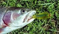 This rainbow trout has taken a No.10 Super Kobra.