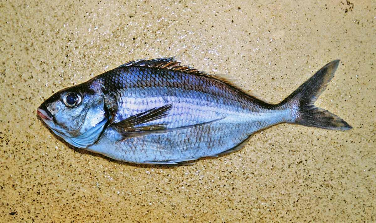 Tarakihi - Nemadactylus macropterus