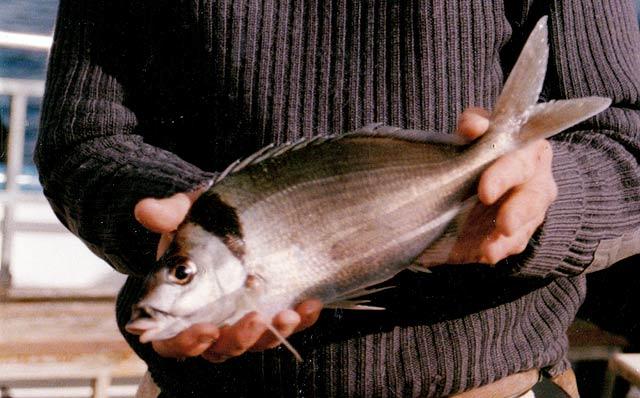 This tarakihi was caught near Stewart Island.